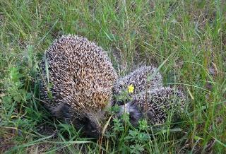 Животные обитающие в рязанской области летом картинки